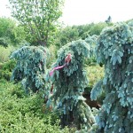 PICEA PUNGENS THE BLUES Weeping variety of Colorado Spruce